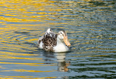 Ducks swimming in the pond. Duck swimming in the pond Stock Photos