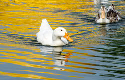 Ducks swimming in the pond. Duck swimming in the pond Royalty Free Stock Image