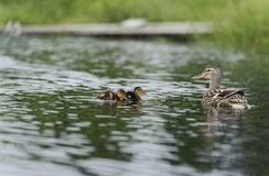 Ducks swimming in the pond. Duck with her clutch swimming in the pond in summer Royalty Free Stock Photo