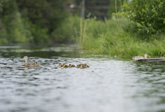 Ducks swimming in the pond Royalty Free Stock Photos
