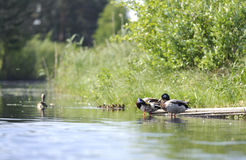 Ducks swimming in the pond. Duck with her clutch swimming in the pond in summer Stock Photo