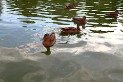 Ducks swimming in the pond stock photo