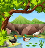 Ducks swimming in the pond. Illustration Stock Photos