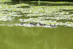Ducks swimming in the pond. Its natural environment Royalty Free Stock Image