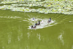 Ducks swimming in the pond. Its natural environment Royalty Free Stock Photography