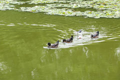 Ducks swimming in the pond. Its natural environment Stock Image