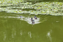 Ducks swimming in the pond. Its natural environment Royalty Free Stock Photo