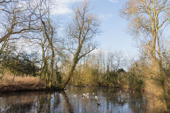 Ducks swimming in a pond in a park at wintertime Royalty Free Stock Image