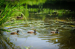 Ducks swimming in pond. In siberia Royalty Free Stock Images