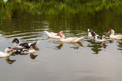 Ducks is swimming in the pond together. This is a ducks is swimming in the pond together Royalty Free Stock Photos