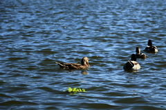 Ducks swimming in the pond Royalty Free Stock Images