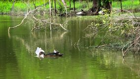 Ducks swimming in pond. Video. 1920*1080 stock footage