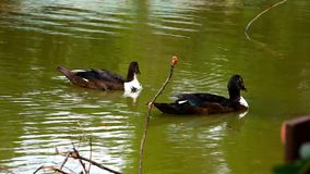 Ducks swimming in pond stock footage