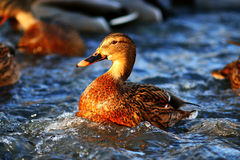 Ducks swimming in pond. Water Royalty Free Stock Photography