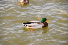 Ducks swimming in the pond. Wild mallard duck. Drakes and female. S Royalty Free Stock Images