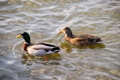 Ducks swimming in the pond. Wild mallard duck. Drakes and female. S Royalty Free Stock Image