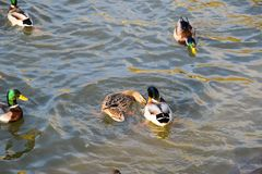Ducks swimming in the pond. Wild mallard duck. Drakes and female. S Stock Images