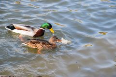 Ducks swimming in the pond. Wild mallard duck. Drakes and female. S Stock Photography