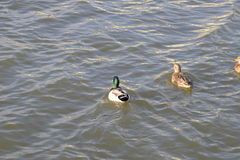 Ducks swimming in the pond. Wild mallard duck. Drakes and females Stock Photo