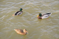 Ducks swimming in the pond. Wild mallard duck. Drakes and females Royalty Free Stock Photo