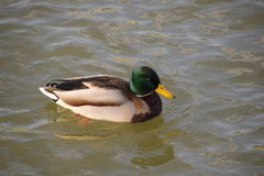 Ducks swimming in the pond. Wild mallard duck. Drakes and females Royalty Free Stock Images