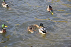 Ducks swimming in the pond. Wild mallard duck. Drakes and females Royalty Free Stock Photos
