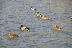 Ducks swimming in the pond. Wild mallard duck. Drakes and females Royalty Free Stock Image