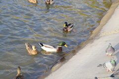Ducks swimming in the pond. Wild mallard duck. Drakes and females Stock Photography