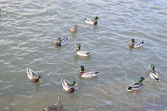 Ducks swimming in the pond. Wild mallard duck. Drakes and females Stock Image