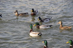 Ducks swimming in the pond. Wild mallard duck. Drakes and females Stock Photos