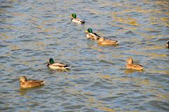 Ducks swimming in the pond. Wild mallard duck. Drakes and female. S Stock Photos