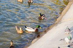 Ducks swimming in the pond. Wild mallard duck. Drakes and female. S Stock Photo