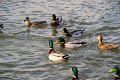 Ducks swimming in the pond. Wild mallard duck. Drakes and female. S Royalty Free Stock Photography
