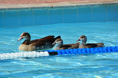 Ducks swimming in pool Royalty Free Stock Photography