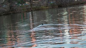Ducks swimming in a river at the golden hour and sunset stock photos