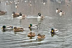 Ducks Swimming On Snowy Day Stock Image