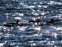 Ducks Swimming In The Sparkling Blue Water. Mallard Ducks swimming in the crystal blue shimmering water at nightfall in a New Jersey river Royalty Free Stock Images