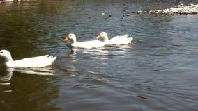 Ducks swimming stock video