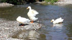 Ducks swimming stock footage