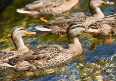 Ducks swimming in stream Stock Images