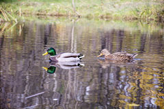 Ducks  swimming  on the surface of the water. Male and female  ducks  swimming  on the surface of the water Stock Images