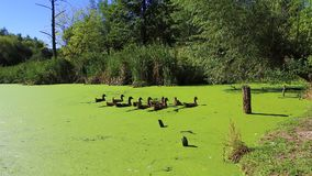 Ducks swimming in a swamp with duckweed. HD stock video