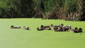 Ducks swimming in a swamp with duckweed. HD stock video footage