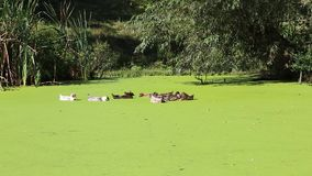 Ducks swimming in a swamp with duckweed. HD stock footage