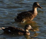 Ducks Swimming together stock images