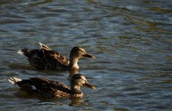 Ducks Swimming together Royalty Free Stock Photos