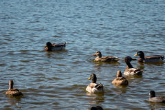 Ducks Swimming Together. In a lake Royalty Free Stock Photos