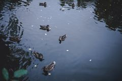 Ducks swimming trough a lake. Some waves and reflection royalty free stock photos