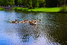 Ducks in the vondelpark swimming in the canal stock images