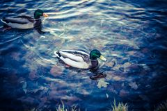 Ducks swimming on the water Royalty Free Stock Photos